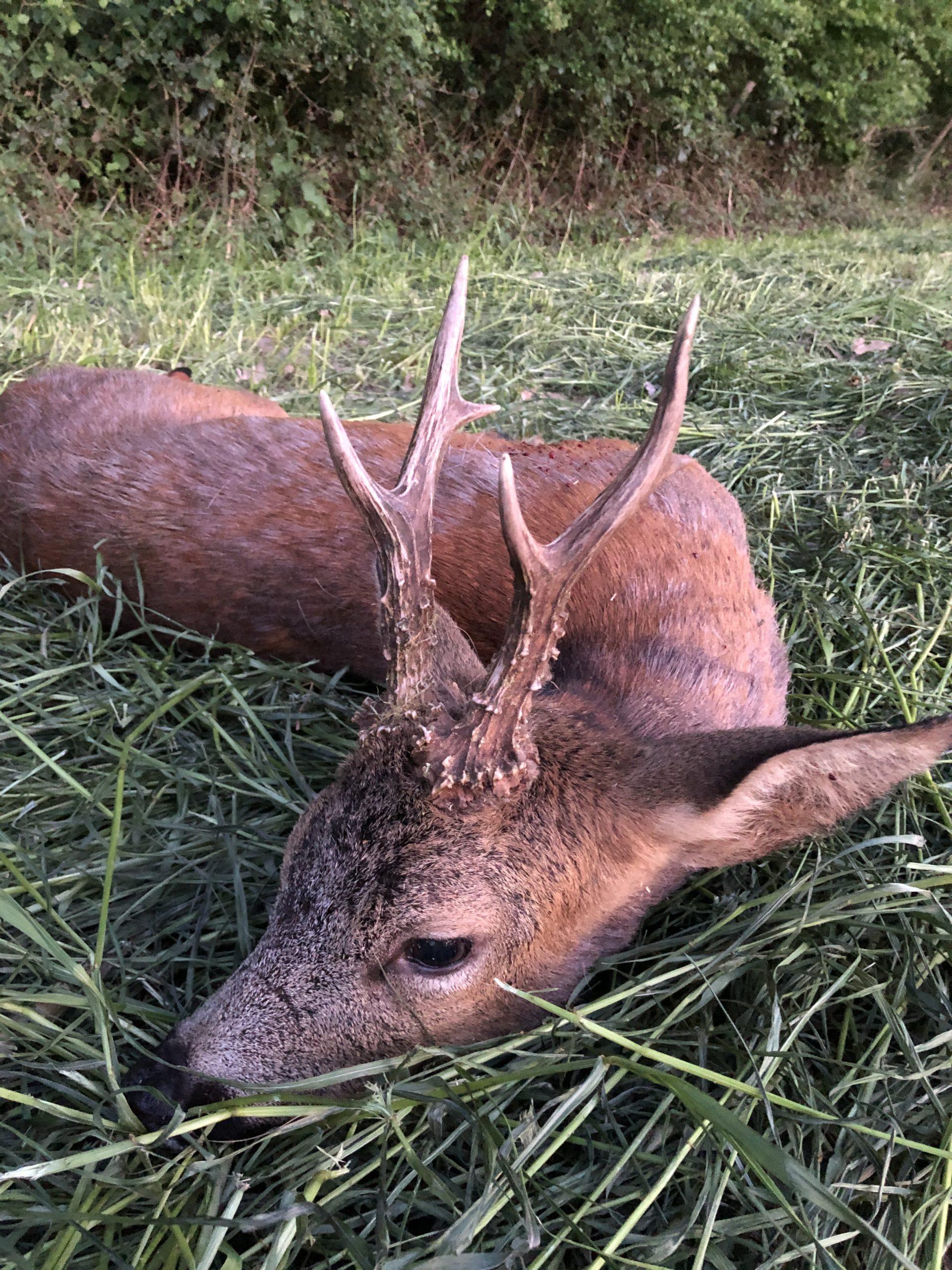 Belgian Hunter