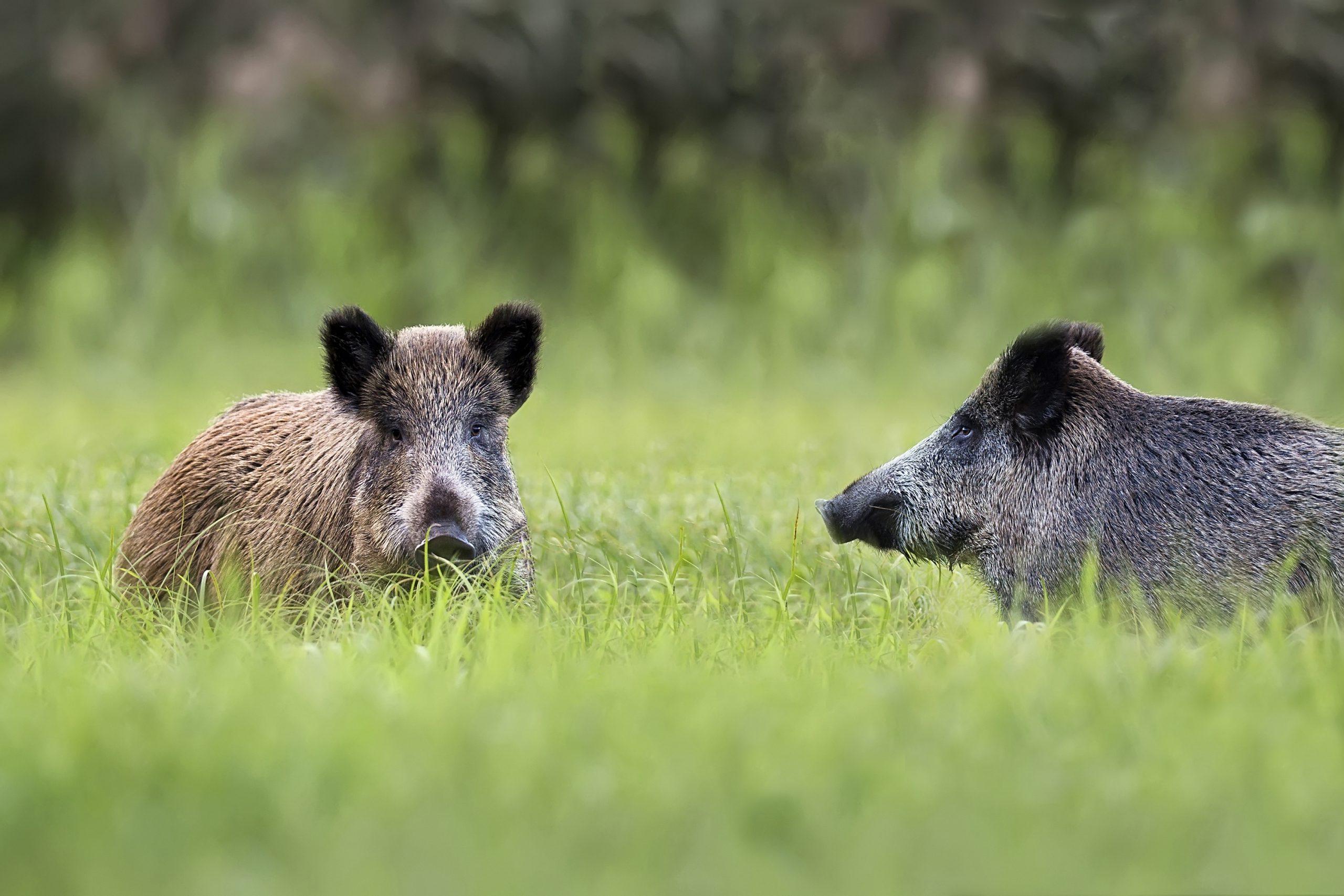 Overpopulatie aan everzwijnen in de Vogezen.