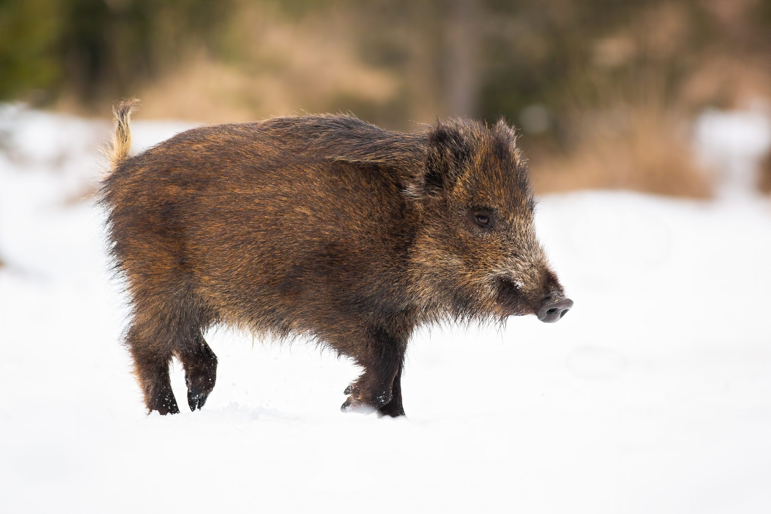 Europa verklaart België varkenspest vrij.