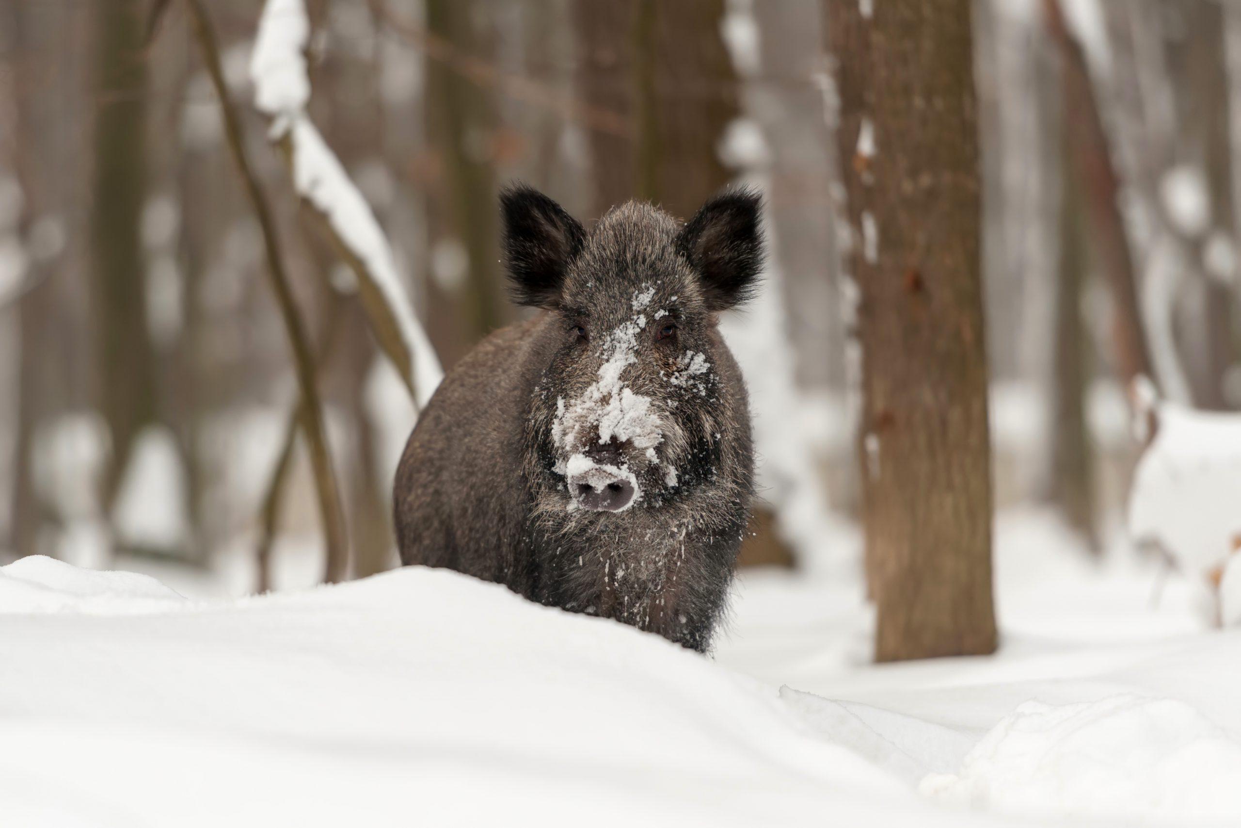 Wild zwijn slachten, drukjacht in Duitsland en de kerstreportage van De Jager