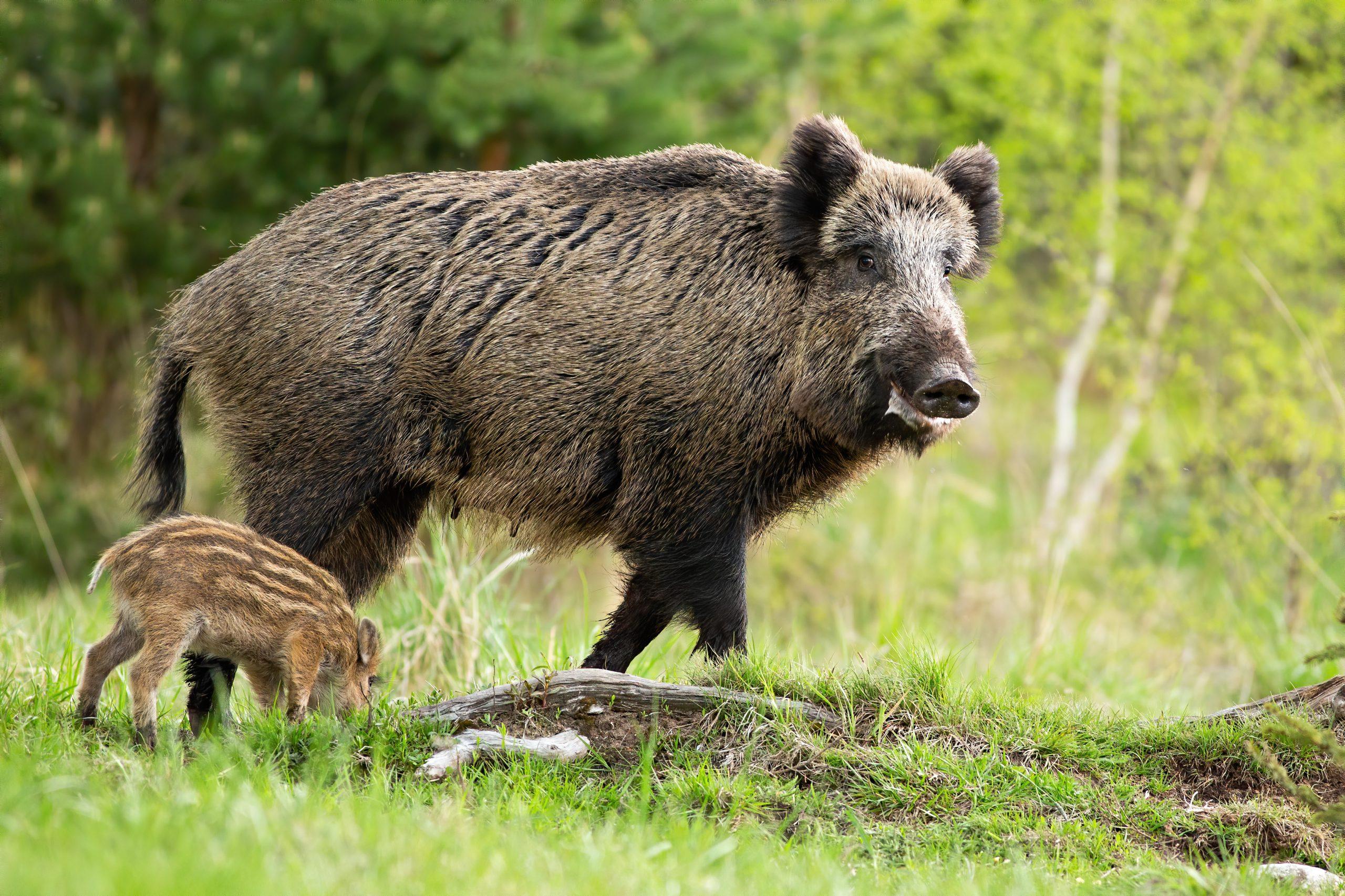 Geen jachtverbod in het kerngebied van de wolven om everzwijnen in toom te houden